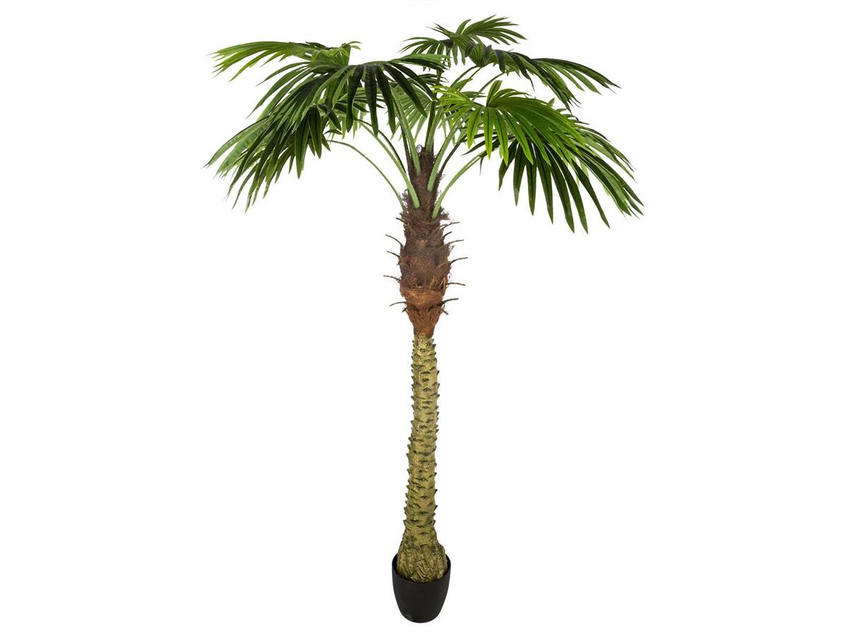 Exotique Semences Chambre Plante toujours verte zierbaum corail arbuste